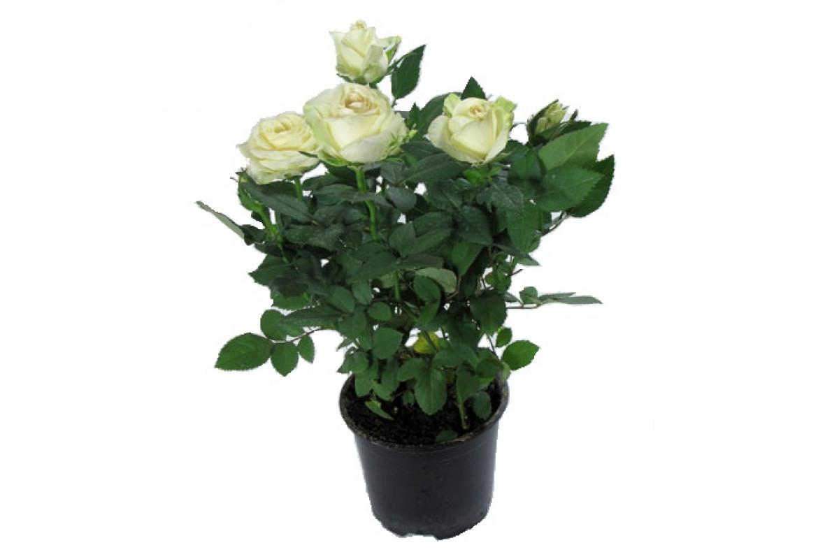 аренде комнатные цветы розы фото восточном