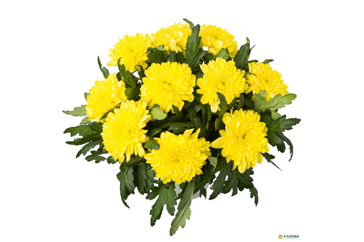 Желтые хризантемы фото букеты