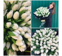 101 white tulip!